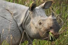 Kaziranga Rhino