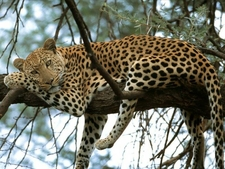 Leopard In Tree Big