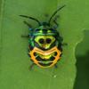 Pentatomid Nymph 2 C Kambalakonda Wildlife Sanctuary 2 C Visakhapatnam