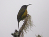 A Sunbird In Mount Apo