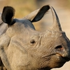 Kaziranga Np One Horn Rhino 3