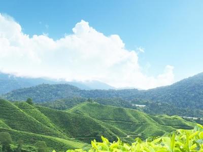 Tea Plantation Munnar Kerala