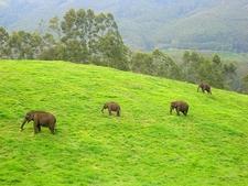 Wild Elephants Munnar
