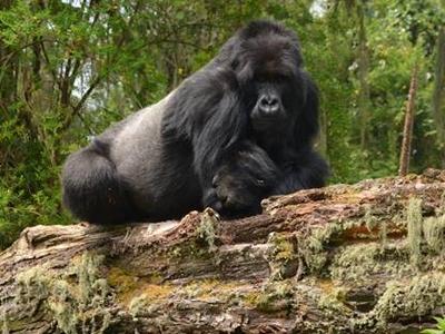 Gorilla 2