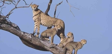 Lelani Cheetahs