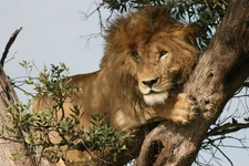Liononatree