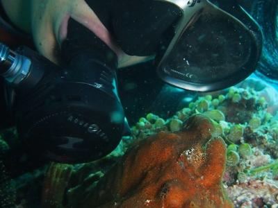 Panglao Island Frogfish