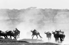 Animal And Wild Beest Migration African Safaris
