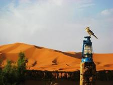 Morocco Birds Guide Sijilmassa