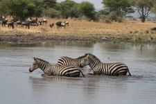 Dazzle Of Zebra Crossing The Pond In Tarangire National Park.