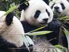 A Giant Panda At Chengdu Panda Base