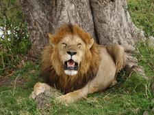 800px Lion In Masai Mara