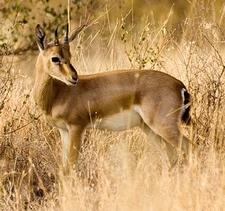 Chinkara (Indian Gazelle)