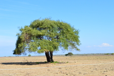 Mauritiana Tree