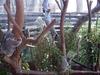 Koalas At Dreamworld\'s Koala Country.