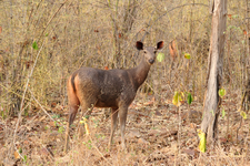 Sambar Female With Shorter Horn