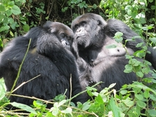 Gorillas Rwanda3