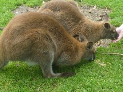 Great Ocean Road Wildlife Park Animal Feeding