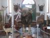 Stuffed Gaur (Indian Bison)