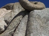 The Big Merino From Side