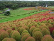 Mass Planting Of Bassia Scoparia Turning Colour In Autumn