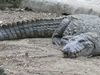 Adult Male Mugger Crocodile