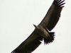 Indian Vulture In Flight