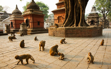 Monkey At Pashupati