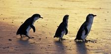 Penguins Medium Cropped