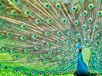 Peacock & Chinkara Breeding Centre