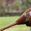 Red Junglefowl (Gallus Gallus)