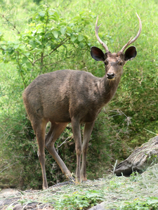 Sambar Deer Of Unicolor