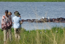 Observing Hippos From A Safe Distance In Murchison Falls Park Uganda