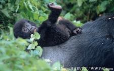 Gorillasrwanda