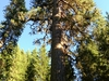 Trout Lake Big Tree