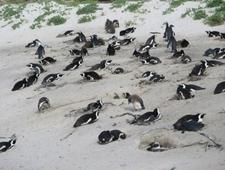 Betty's Bay Penguin Colony