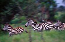 014 Zebras Running