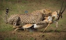 Cheetah Kill In The Great Masai Mara