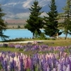 Population Of Lupins On Lake Tekapo