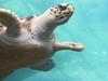 Buddy The Turtle In Manatee Coast Indoor Habitat