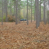 Young Longleaf Straw Stand