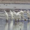 Chinese Egrets