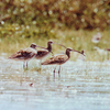 Eastern Curlews