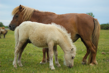 Shetland Pony With Foal In New Forest