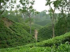 Sylhet Tea Garden, Bangladesh.