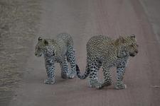 2leopard