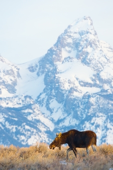 Moose Winter Tetons Jackson Hole 2015 134