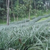 Pineapple And Rubber Cultivations In Vazhakulam