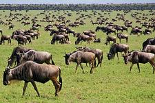 Serengeti Wildbest Kilimanjaro Safari