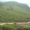 Tea Forest In Suryanelli, Gundumalai Division